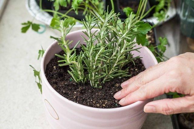 Как вырастить розмарин в домашних условиях из семян - посадка и уход