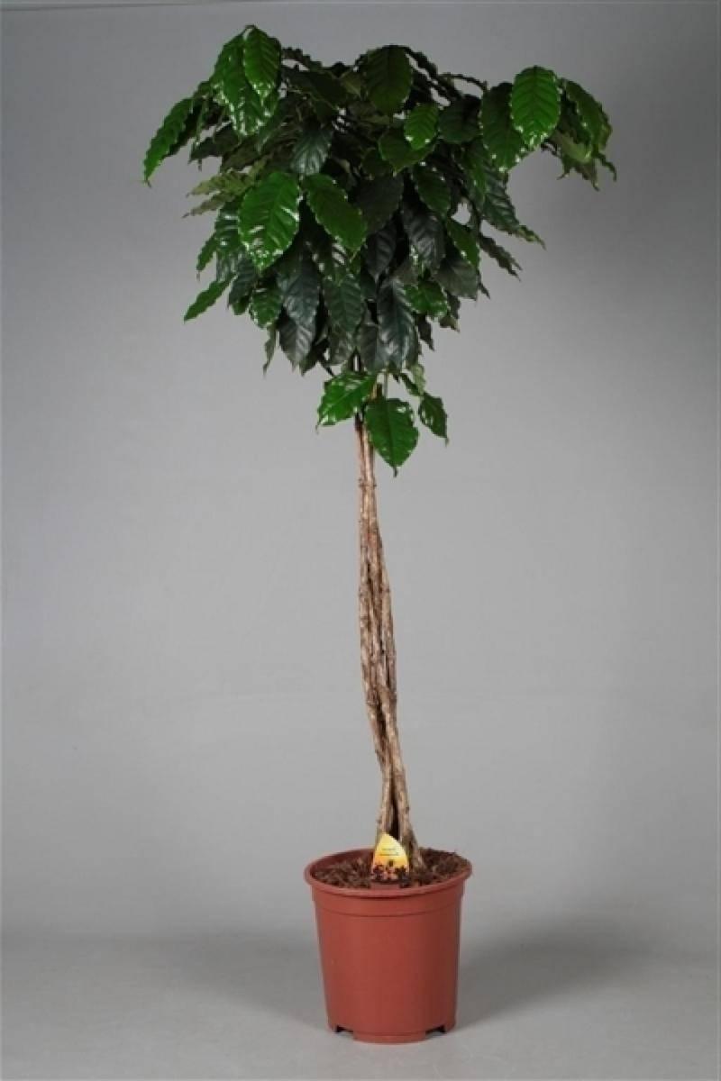 Секреты выращивания кофейного дерева в домашних условиях
