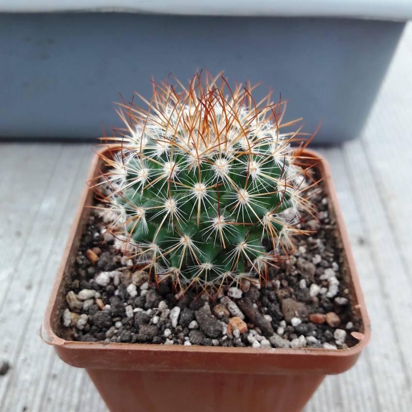 Маммиллярия — любимец среди кактусов!