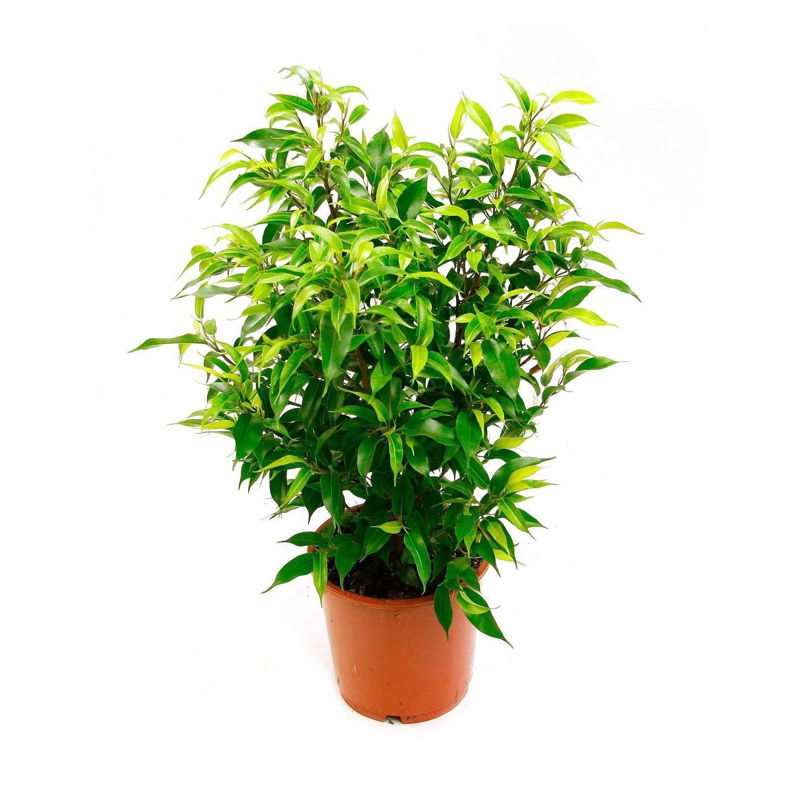 Фикус бенджамина в домашних условиях – почва, формовка, полив и освещение. пересадка и размножение. популярные сорта