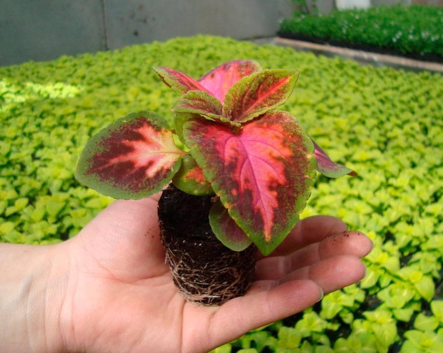 Посадка и уход за колеусом, домашним цветком, выращивание в домашних условиях