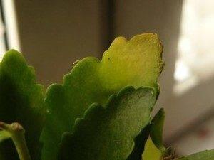 Болезни каланхоэ - почему желтеют и сохнут листья? вредители растения с фото, методы лечения
