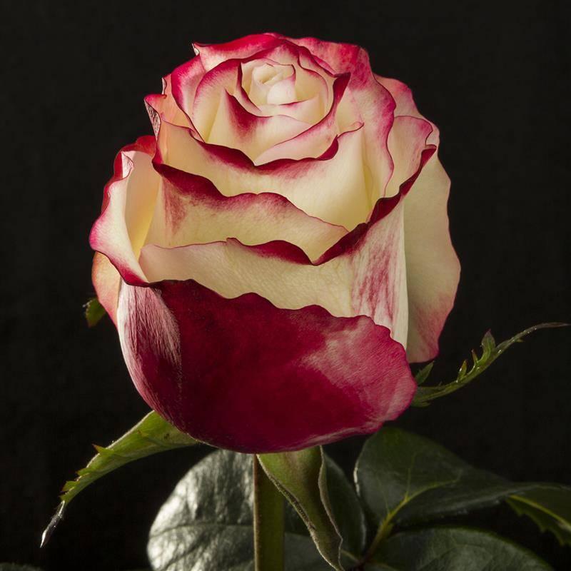 Правила ухода за свитнесс розой - общая информация - 2020