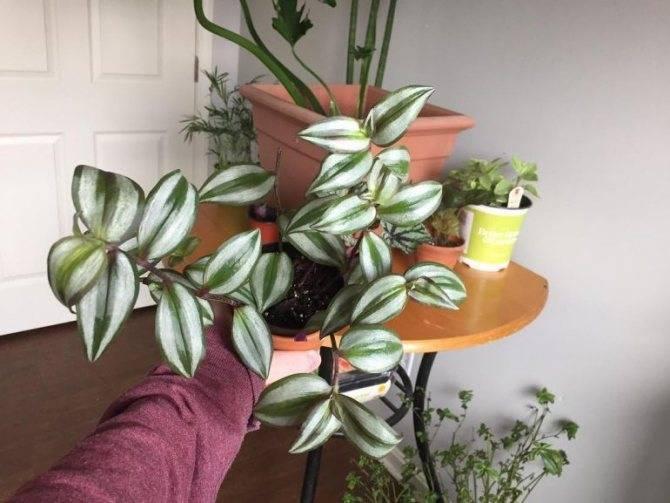 Способы размножения традесканции в домашних условиях