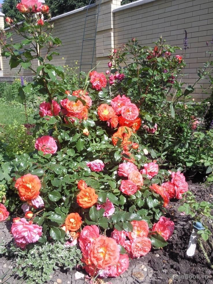 Морщинистые розы: особенности, сорта и выращивание