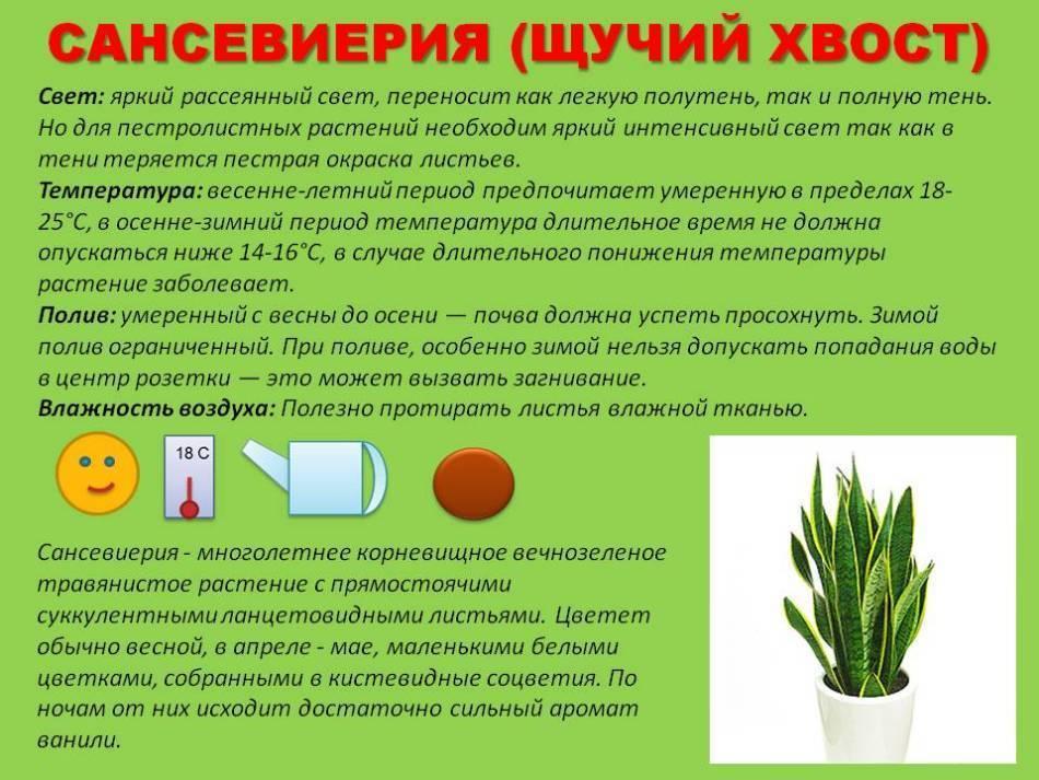 Уход за пальмой в домашних условиях: советы для начинающих цветоводов