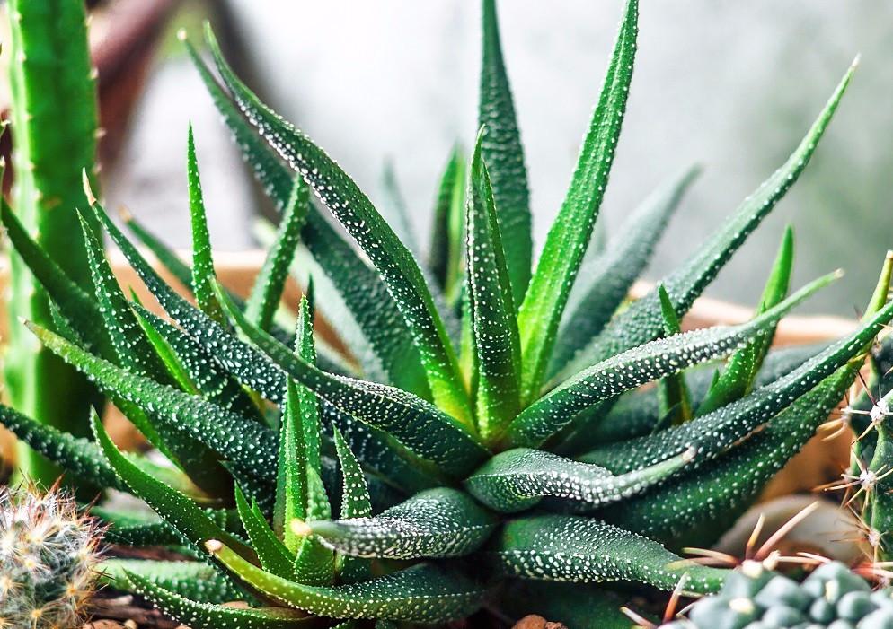 Выращивание алоэ вера в домашних условиях: чем цветок отличается от столетника