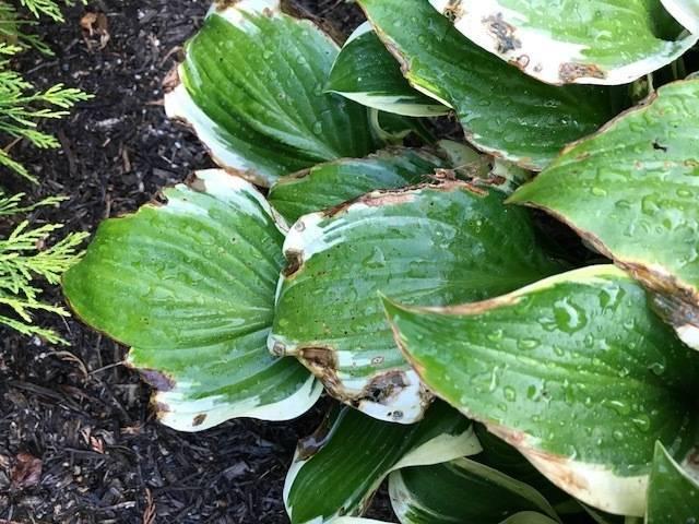 Болезни хосты (19 фото): описание и их лечение. почему желтеют листья и как лечить растения? что делать, когда летом в июне сохнут края и кончики листьев?