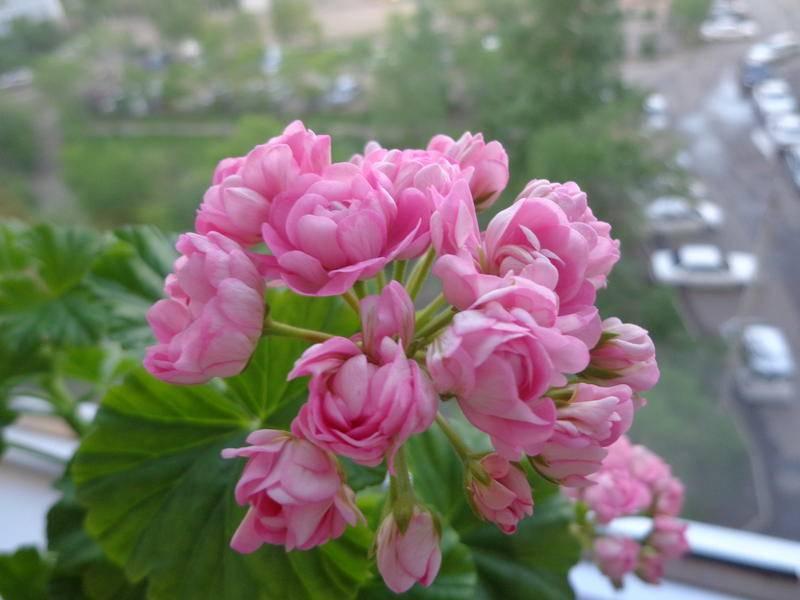 Тилландсия «анита»: выращивание и уход в домашних условиях
