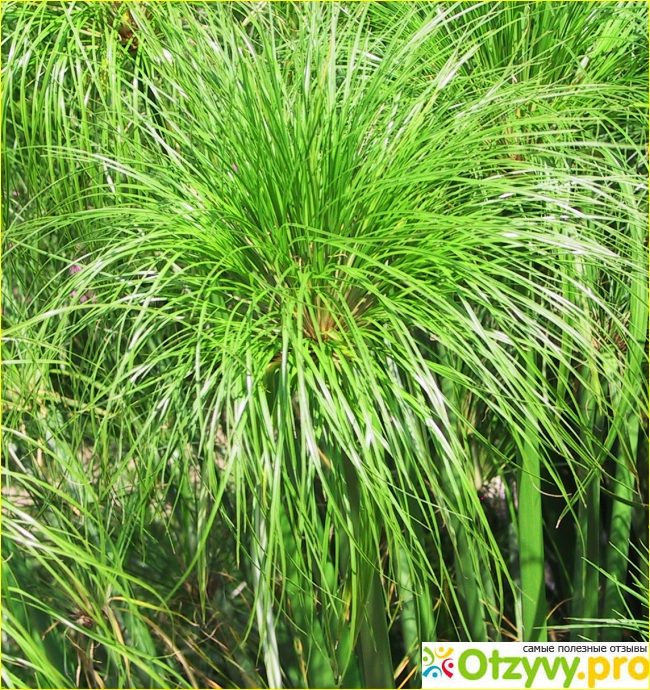 Циперус (cyperus) – уход, фото, виды