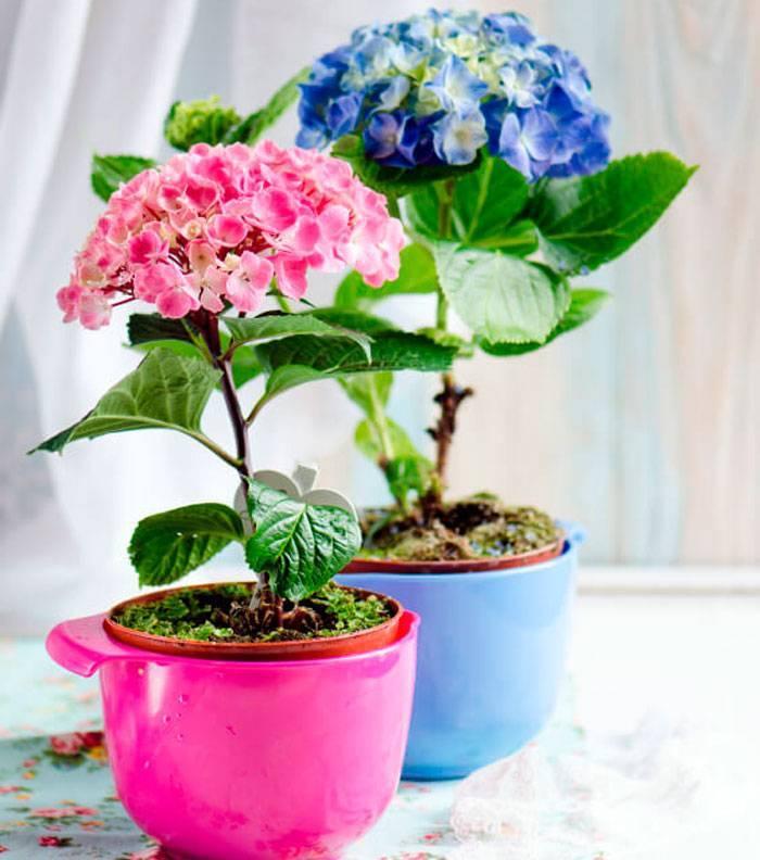 Гортензия комнатная: посадка, выращивание и уход