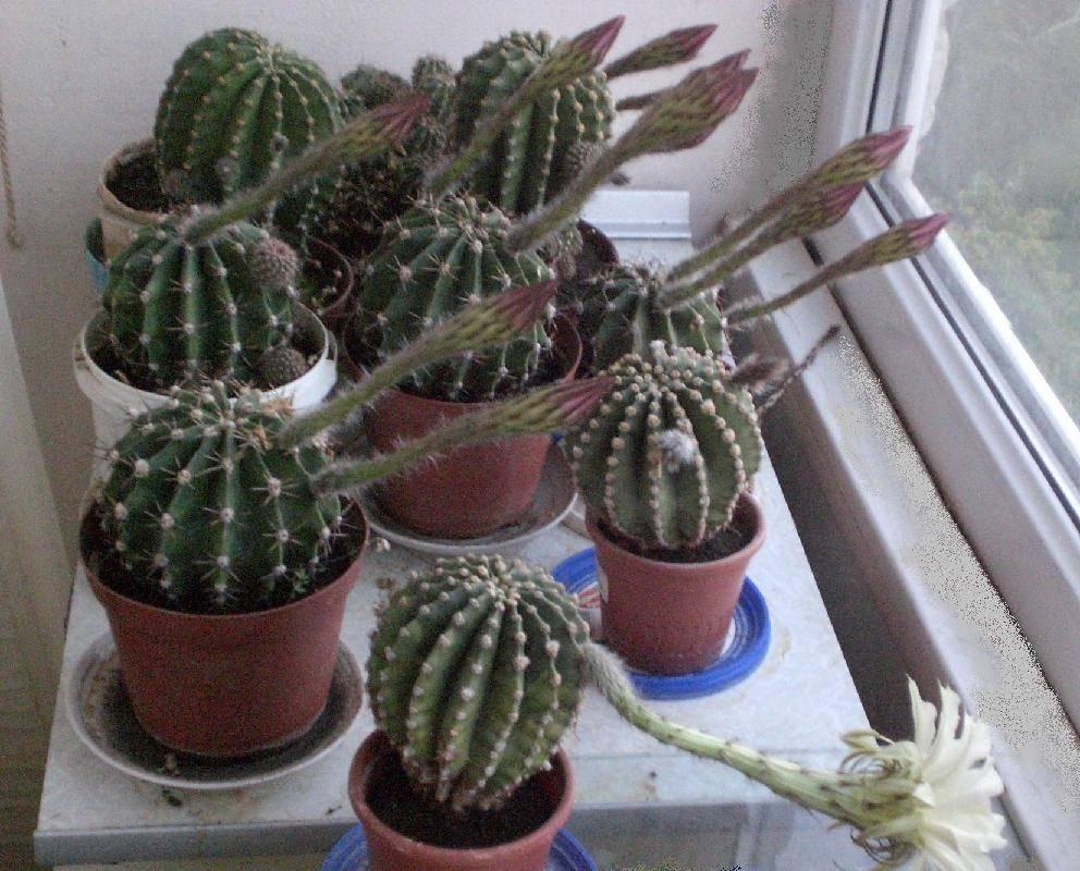 Эхинопсис, особенности выращивания растения в домашнем саду