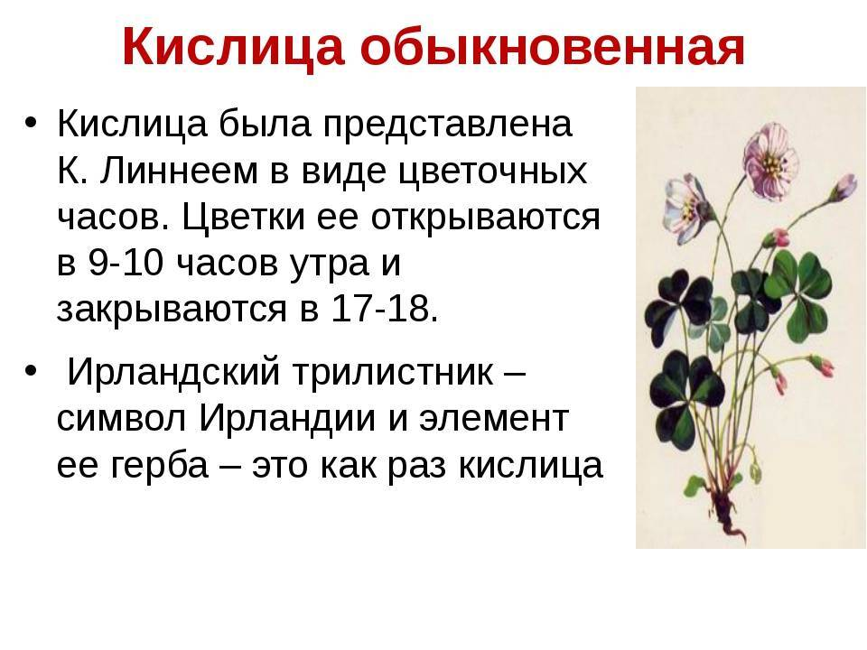 Кислица комнатная (oxalis) — уход в домашних условиях - pocvetam.ru