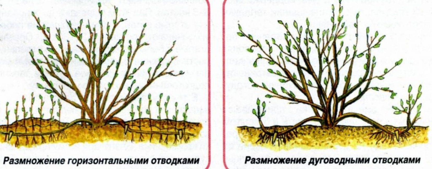 Выращивание спиреи из черенка: практические советы