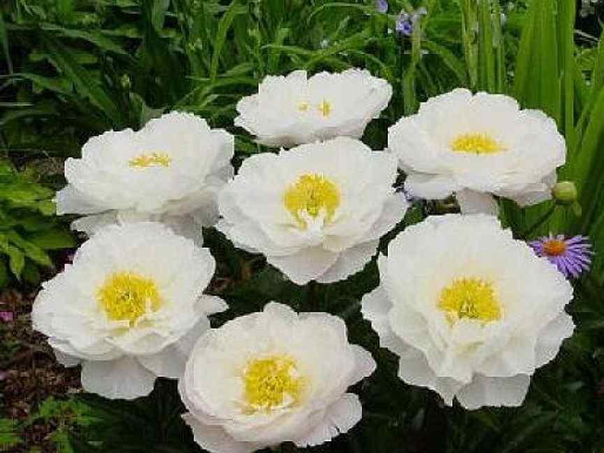 Пион лемон шиффон (paeonia lemon chiffon) – как вырастить цветок