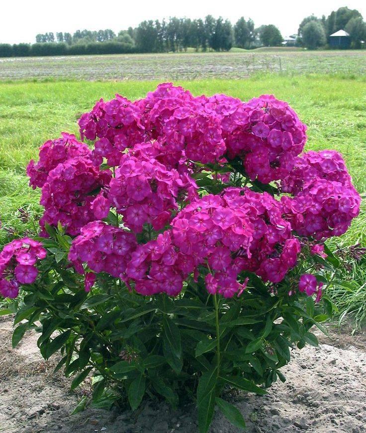 Как сажать флоксы многолетние семенами на рассаду. выращивание многолетних флоксов из семян