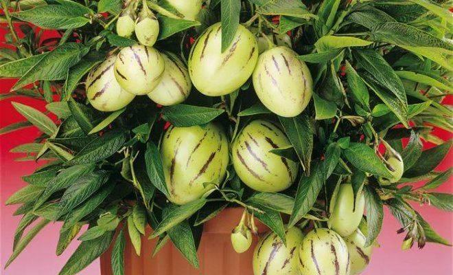 Растение пепино или дынная груша для дачного участка