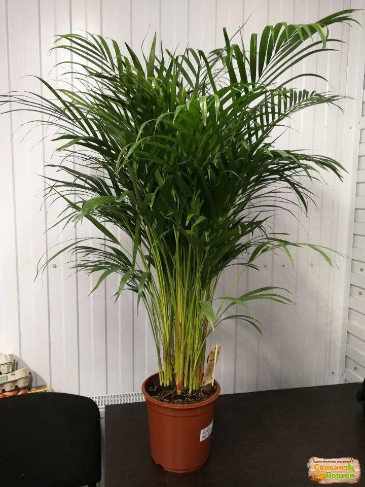 Пальма домашняя: виды, как ухаживать за пальмой в домашних условиях