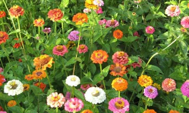 Выращивание календулы из семян: посадка и уход в открытом грунте, сорта и виды