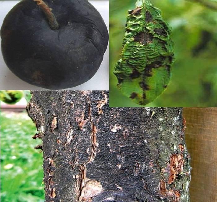 Болезни плодовых деревьев, заболевания садовых фруктовых деревьев