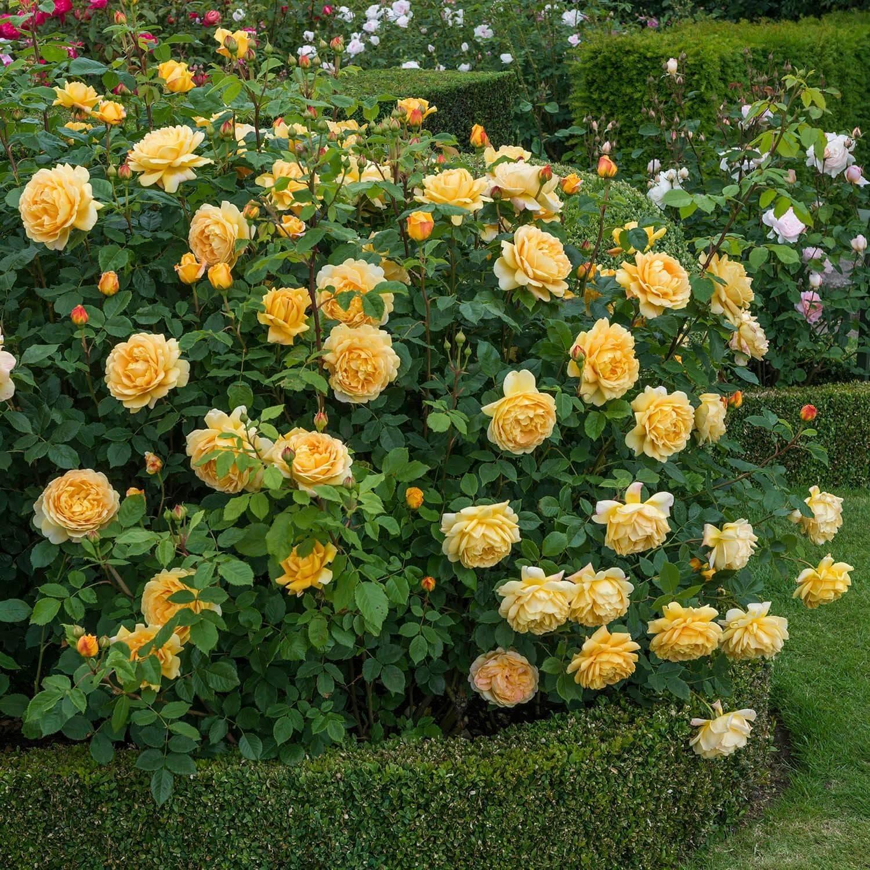 Роза голден селебрейшен (golden selebration): фото и подробное описание сорта, выращивание, уход за цветком, болезни и вредители, использование в ландшафтном дизайне