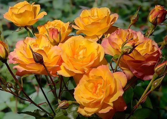 Описание розы флорибунда сорта анжела: выращивание цветка-шраба, как ухаживать