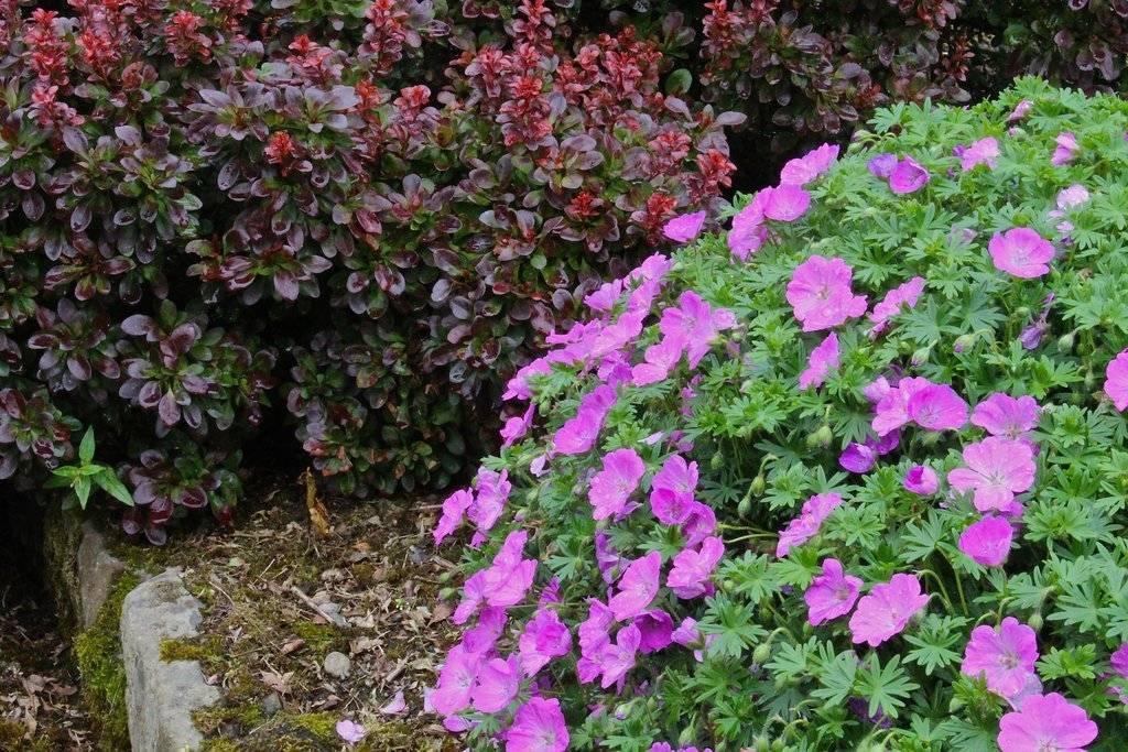 Посадка и уход за геранью на даче: можно ли выращивать цветок на улице, как переместить из горшка в открытый грунт, а также фото лугового сорта и других