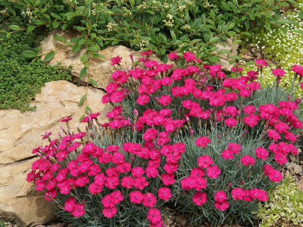 Армерия (52 фото): посадка и уход в открытом грунте, армерия красивая и псевдоармерия, можжевелолистная и другие, выращивание из семян