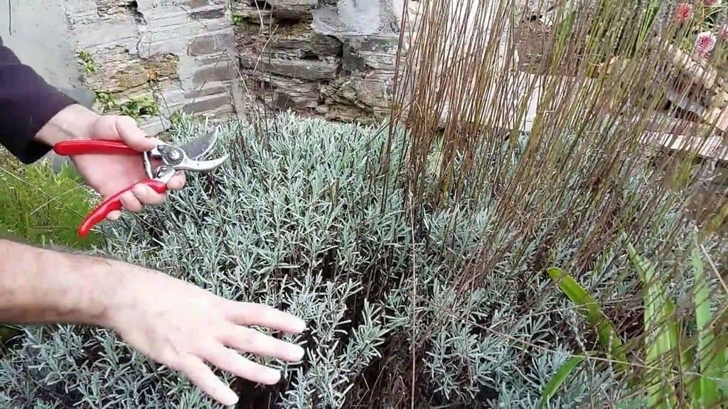 Цветок аспарагус — уход в домашних условиях