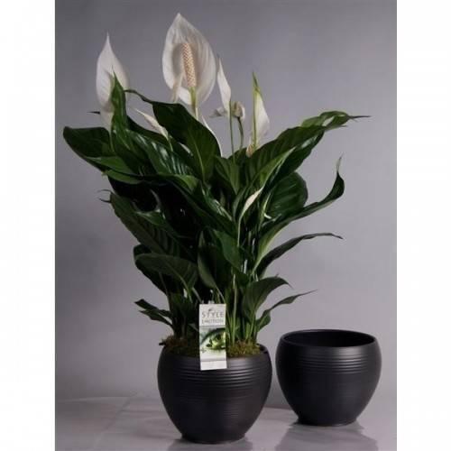 Сорта спатифиллума свит — чико, бенито и другие. особенности цветения и ухода