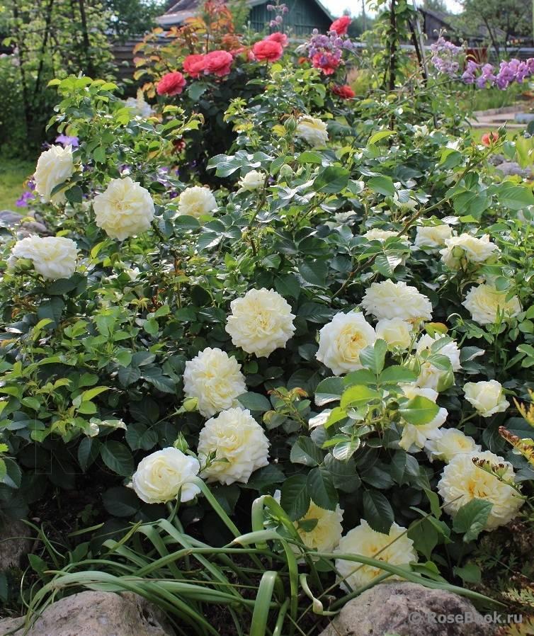 Описание красной розы сорта лаваглут: что это за идеальная маленькая флорибунда