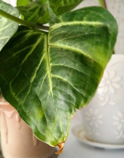 Почему опадают листья у комнатных растений?
