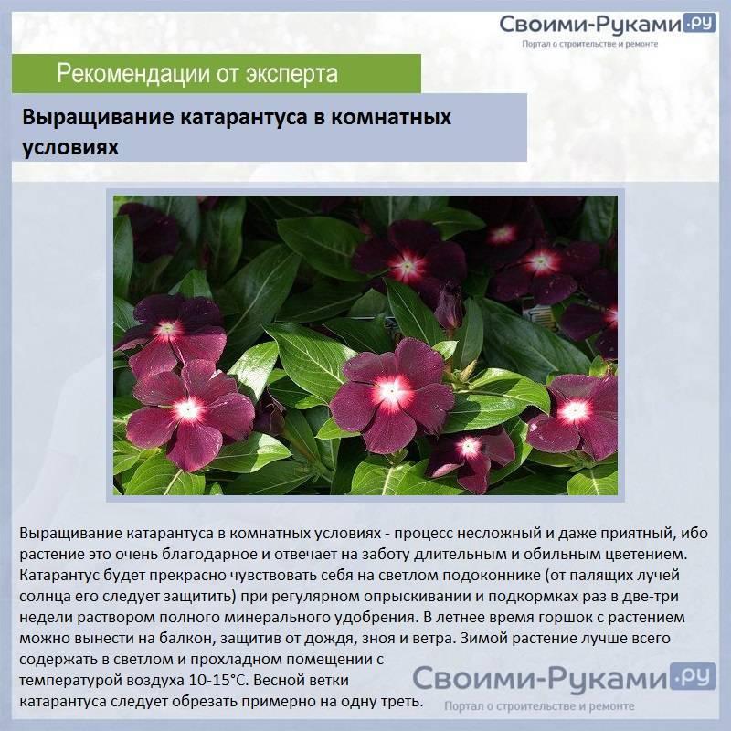 Выращивание и уход катарантуса: параметры сортов и технология возделывания