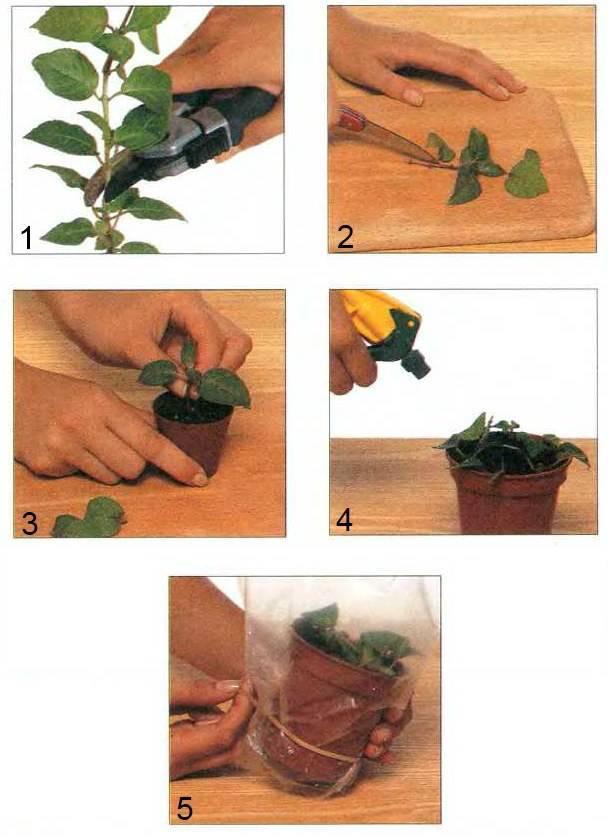 Как размножить мирт в домашних условиях черенками