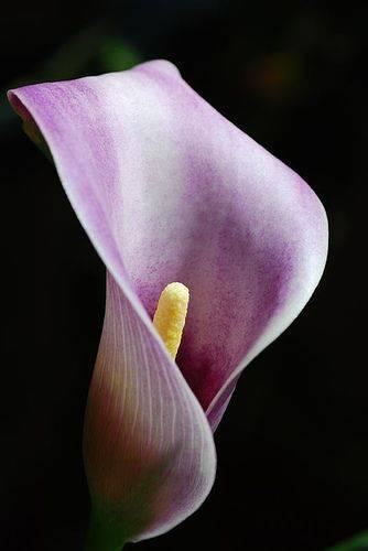 Амариллис — цветок луковичный и его разновидности