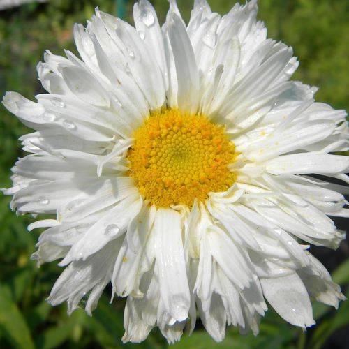 Ромашка садовая многолетняя (нивяник): сорта, посадка, уход в открытом грунте