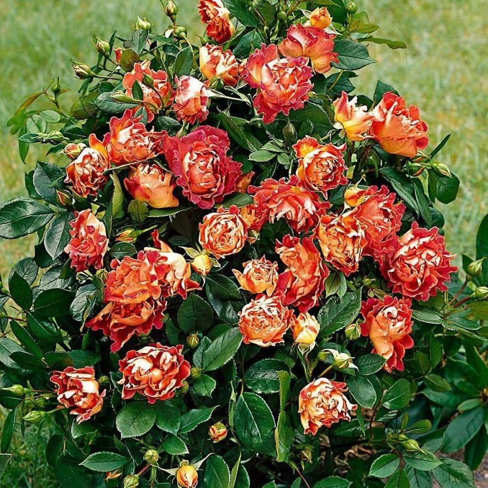 Садовая роза флорибунда, как ухаживать за королевой сада,особенности посадки и цветения, сорта с названиями и фото