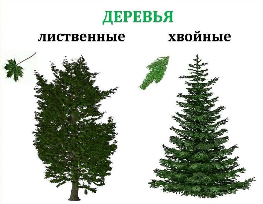 Деревья лиственные и их названия, листопадные деревья, продолжительность жизни