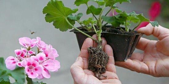 Описание и посадка цветка пеларгония denize: уход и фото культуры