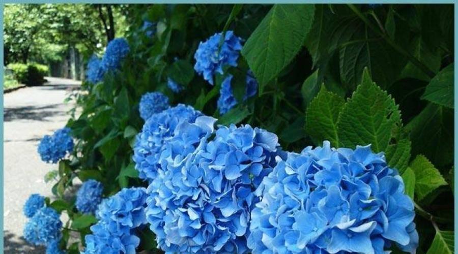 Гортензия садовая — посадка и уход в открытом грунте на урале - pocvetam.ru