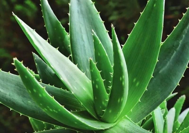 Агава растение фото сироп