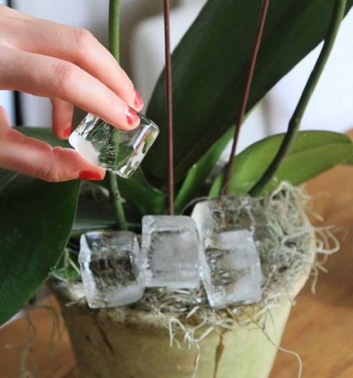 Как поливать орхидею?