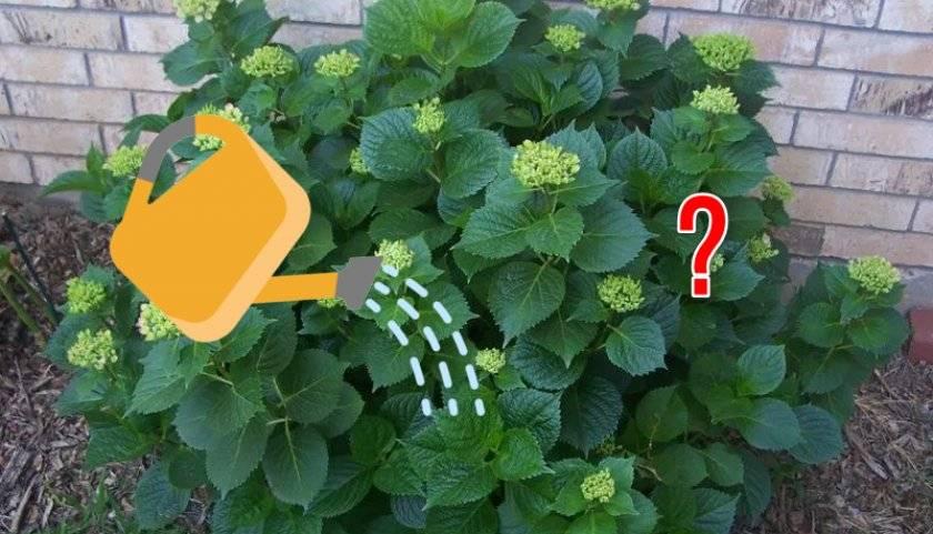 Болезни и вредители гортензии (28 фото): описание и способы лечения листьев. почему цветок плохо растет? почему сохнут и чернеют края листьев?