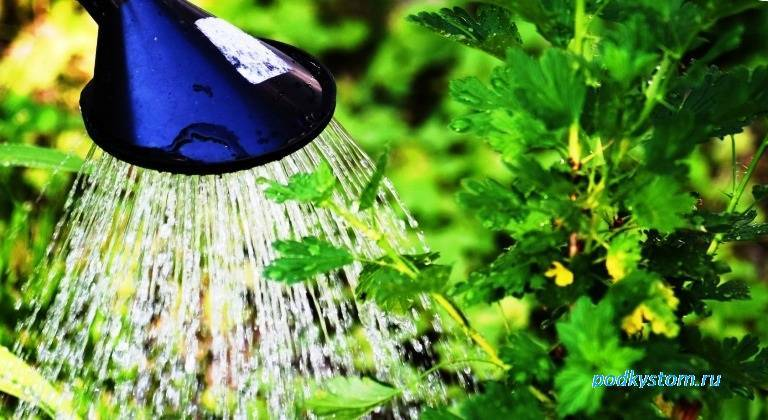 Как часто поливать смородину и крыжовник? секреты хорошего урожая и особенности полива на разных этапах роста (110 фото и видео)
