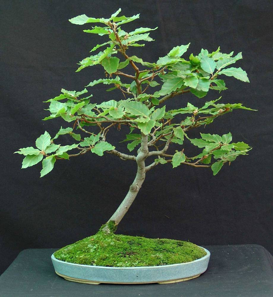 Дерево бонсай: выращивание и уход в домашних условиях