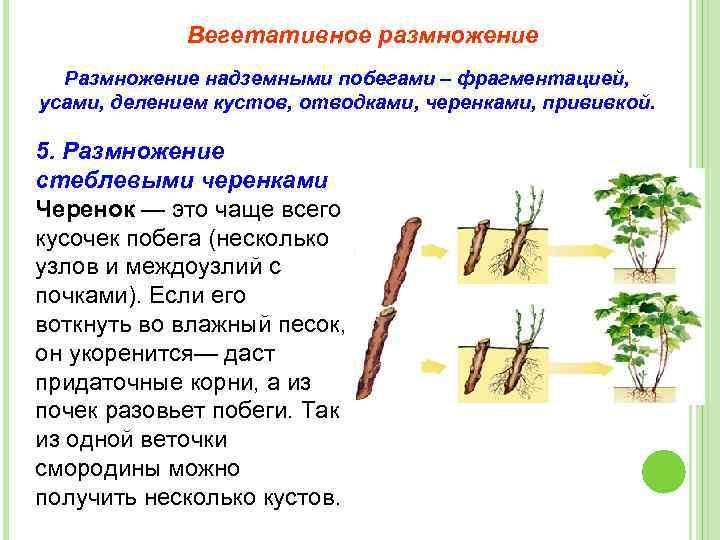 Как размножить пионы: способы и методы размножения