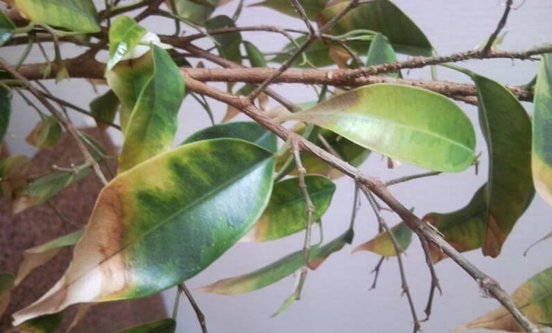Что делать, когда листья фикуса бенджамина сначала желтеют, а потом опадают