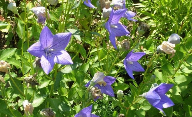 Комнатный цветок кампанула (58 фото): уход в домашних условиях после покупки, махровый колокольчик и другие виды. как размножить? как укоренить в горшке?