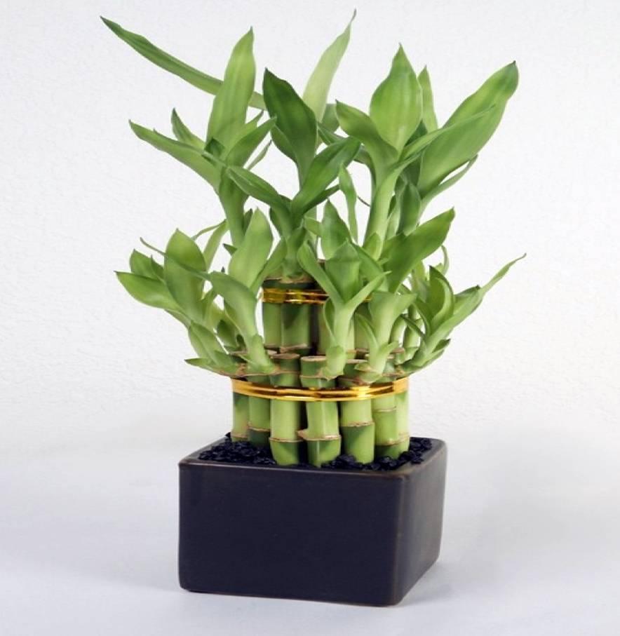 Особенности ухода за комнатным бамбуком в домашних условиях, правила выращивания вечнозеленого многолетника в воде и в грунте, формирование оригинального ствола