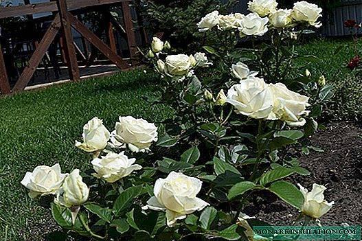 Роза Мондиаль (Mondial) — описание и разновидности